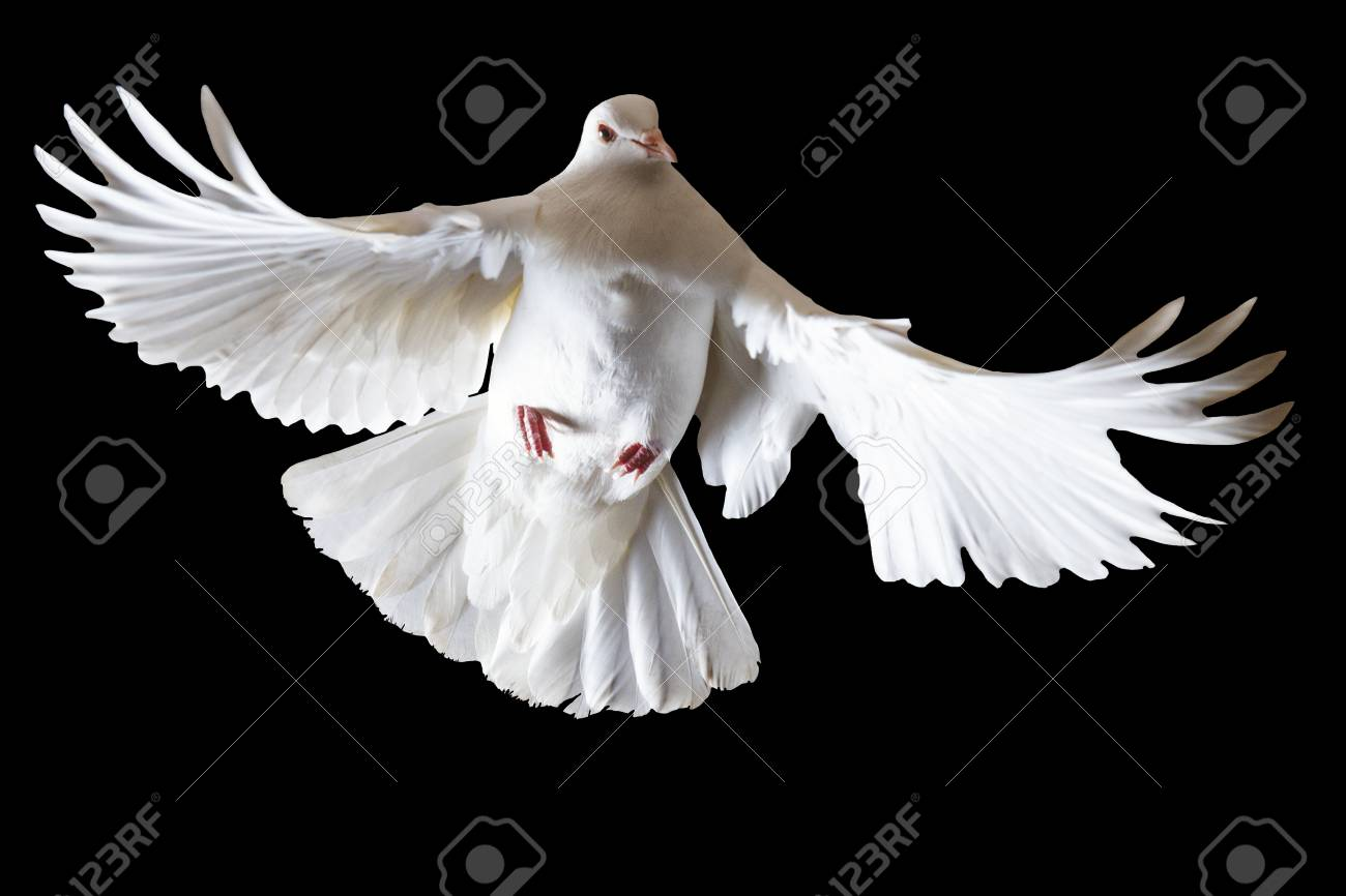 White Pigeon Flying On A Black Background Isolated Object Symbol