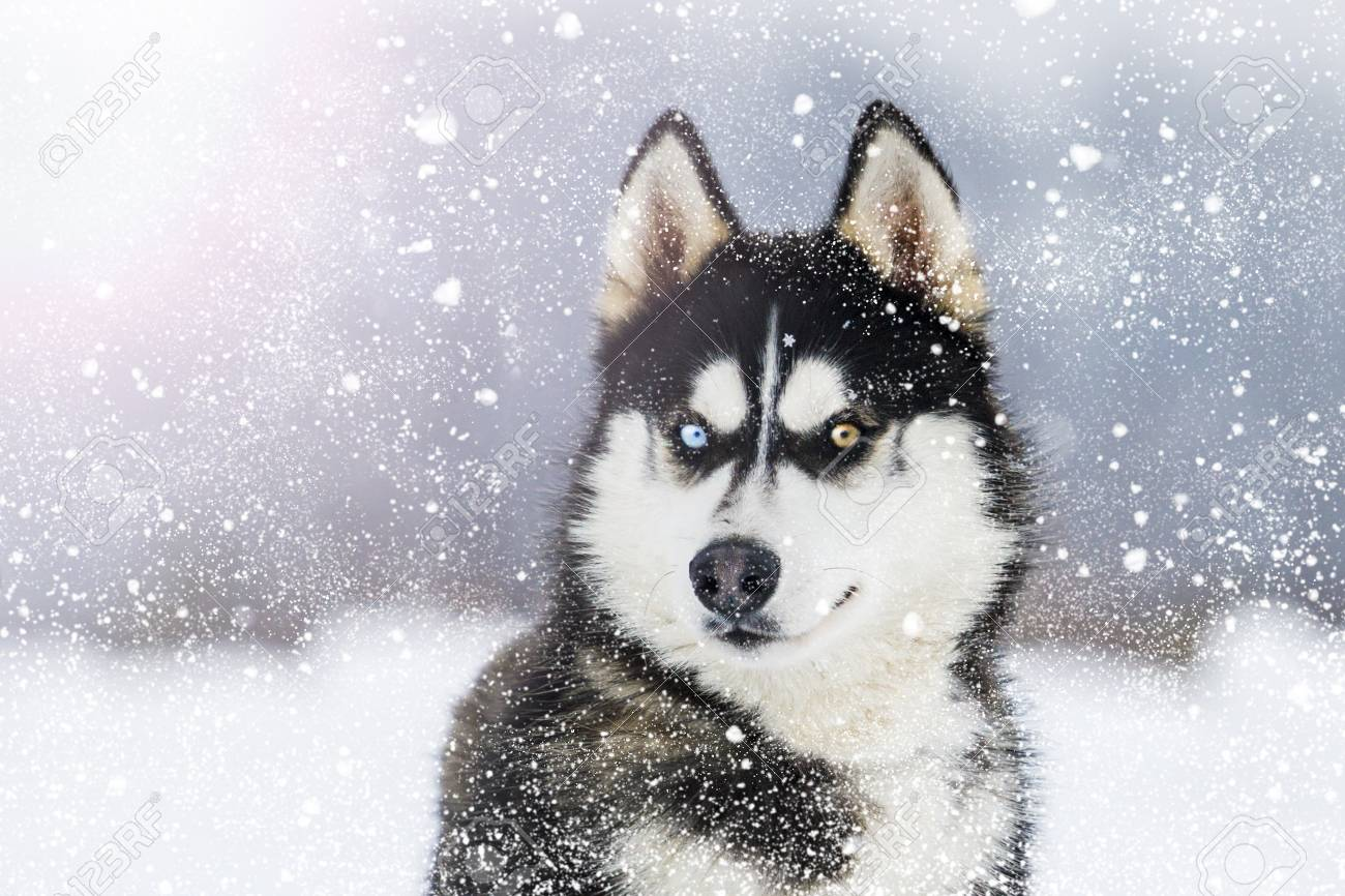 Husky with colorful eyes during snowfall on a sunny winter day - 114653080