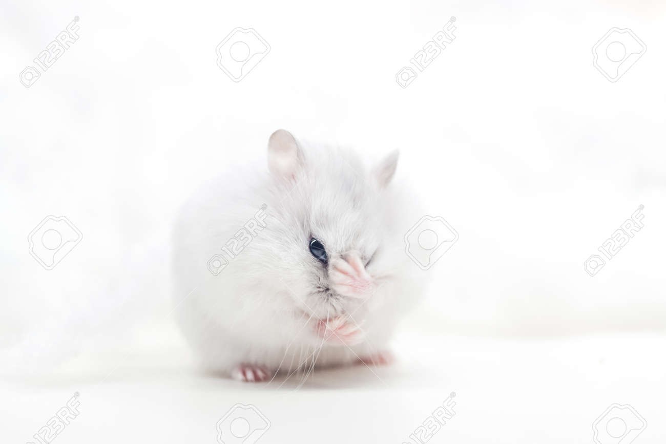 hamster on a white background shyly covers his muzzle - 166167683