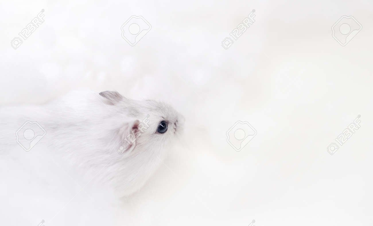 white hamster on a white background - 166167648