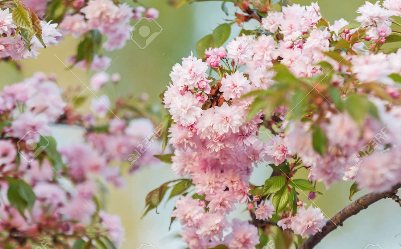 cherry blossoms spring beautiful background - 166245313