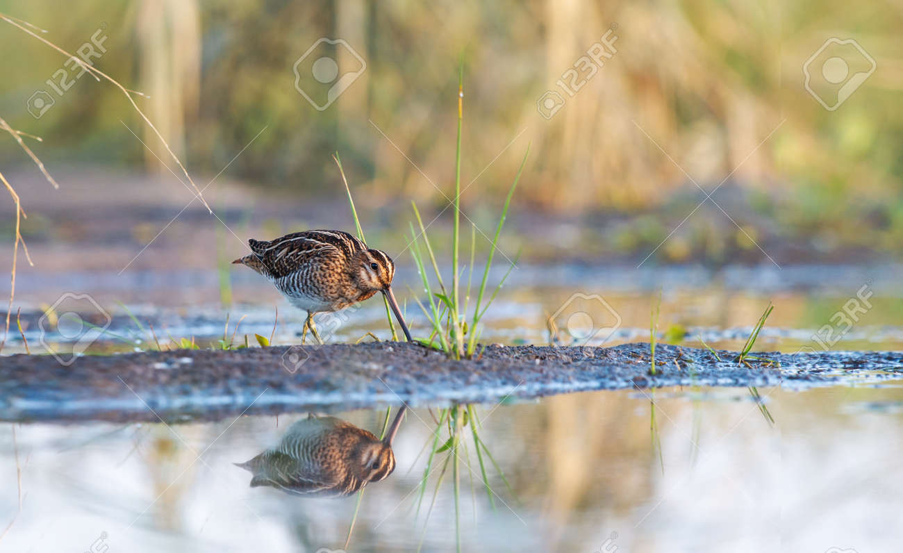 early morning snipe in the swamp - 166245754