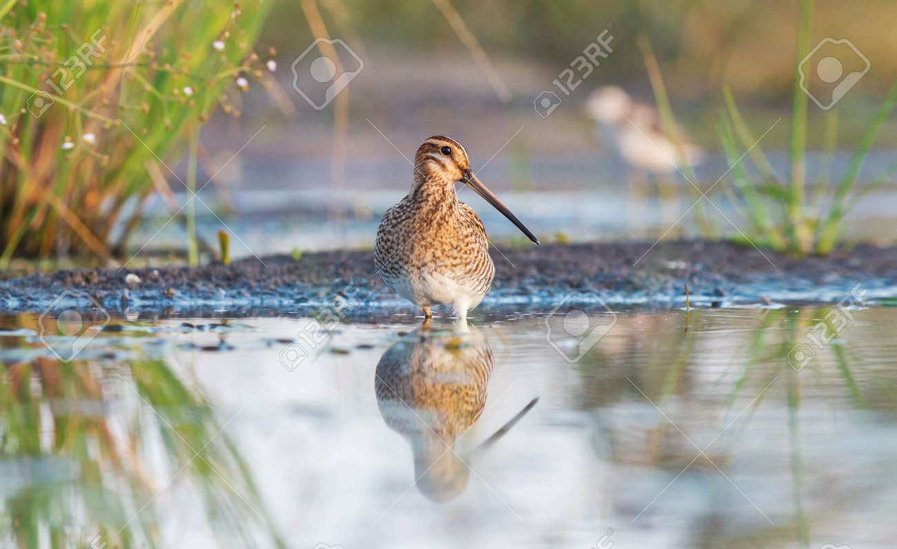 snipe stands proudly in the water in shallow water - 166245683