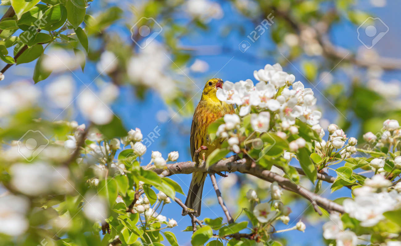 yellow bird among blooming flowers on a tree - 166390794