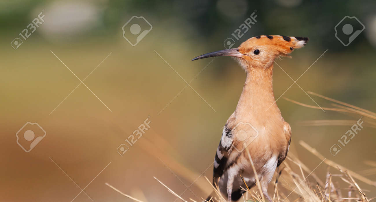 beautiful bird hoopoe with tufted - 166282775