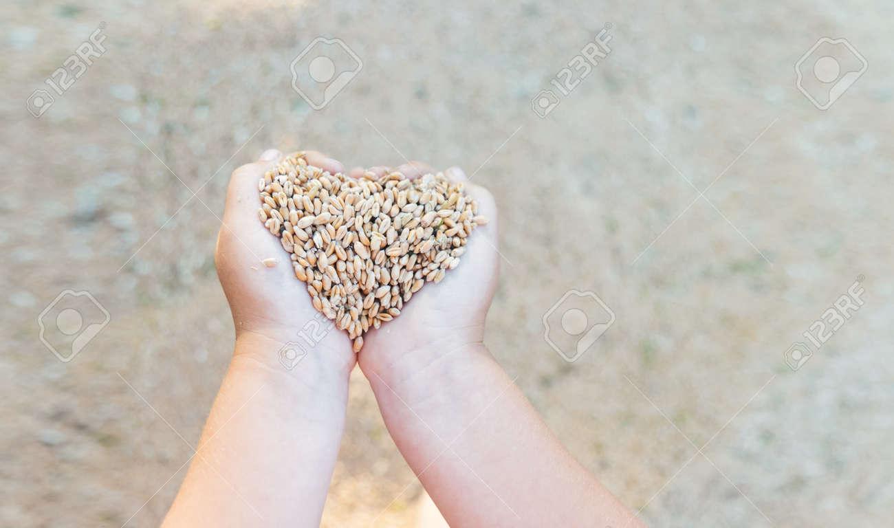 little girls hands hold grain - 166858968