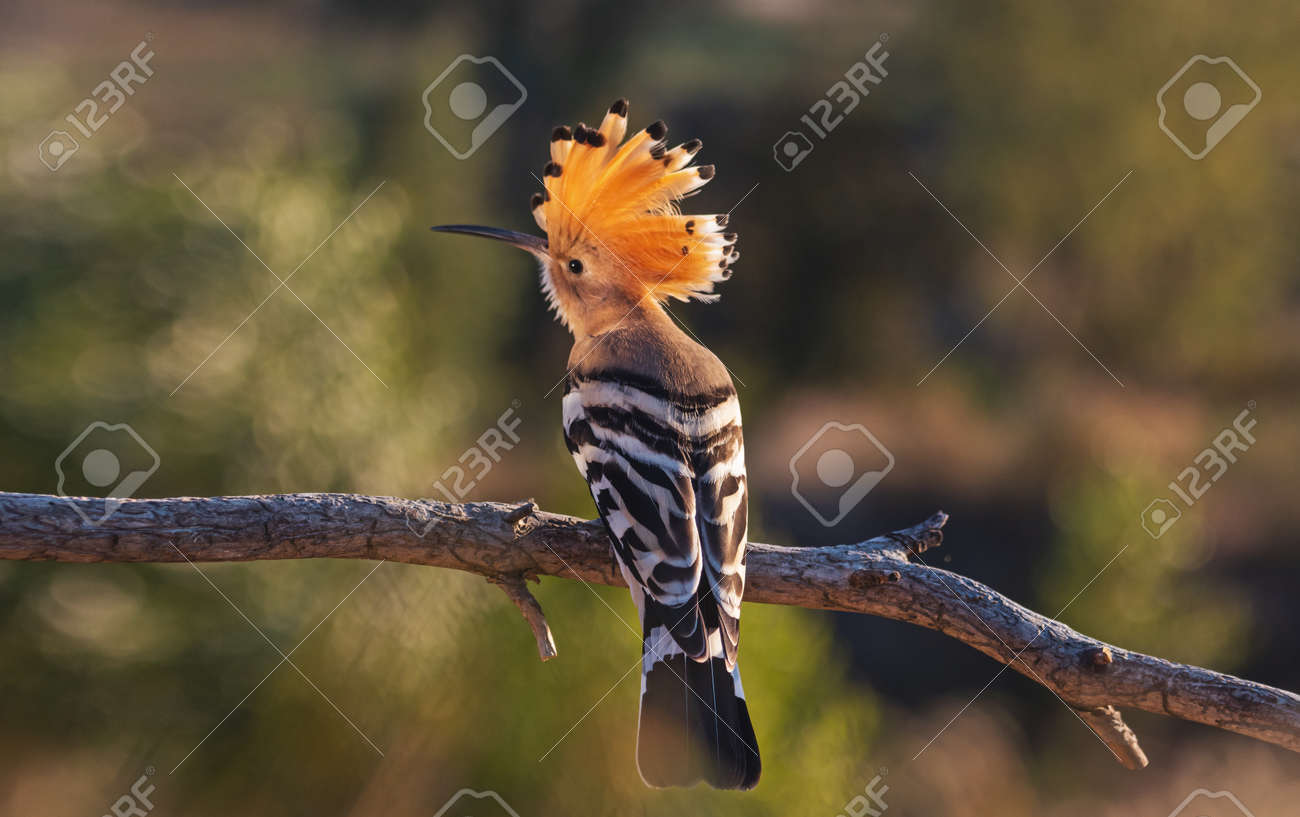 hoopoe opened the crest at sunset - 166934108