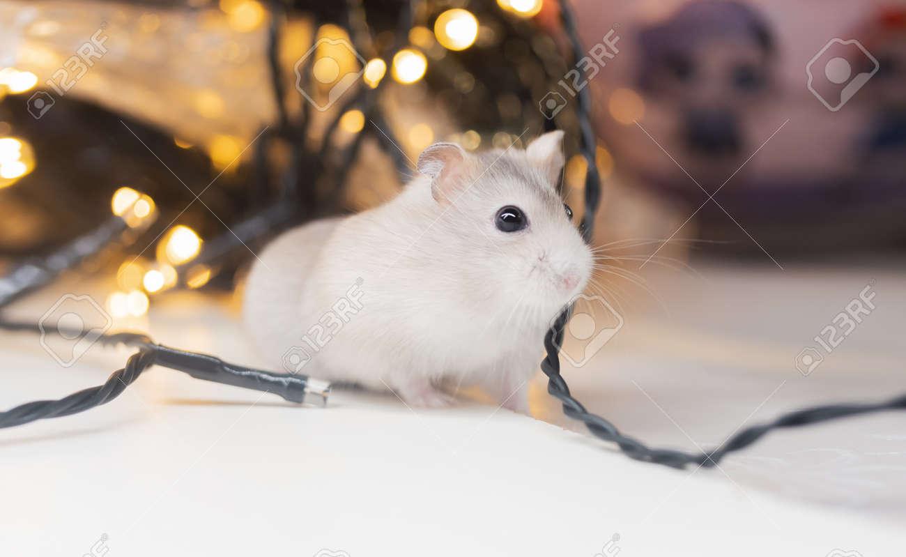hamster among glowing holiday garlands - 167051286