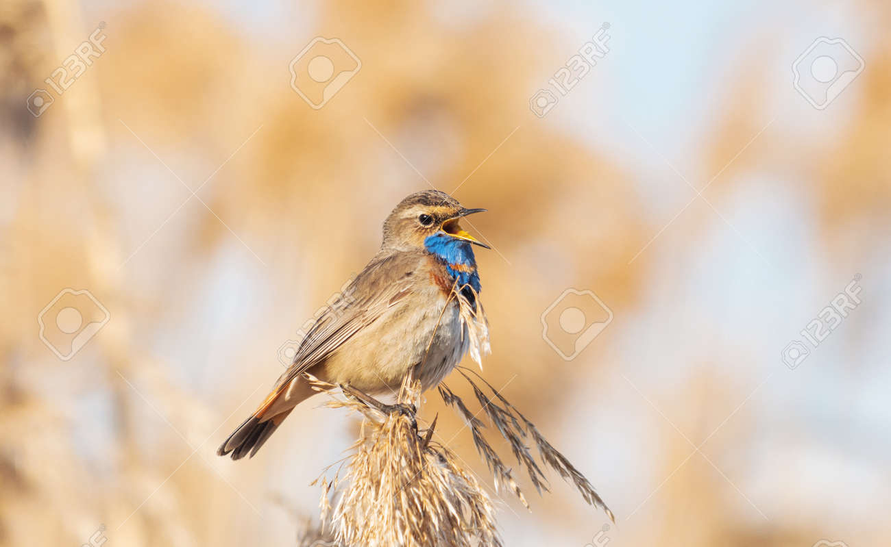 bluethroat sings a song sitting on a reed - 167525556