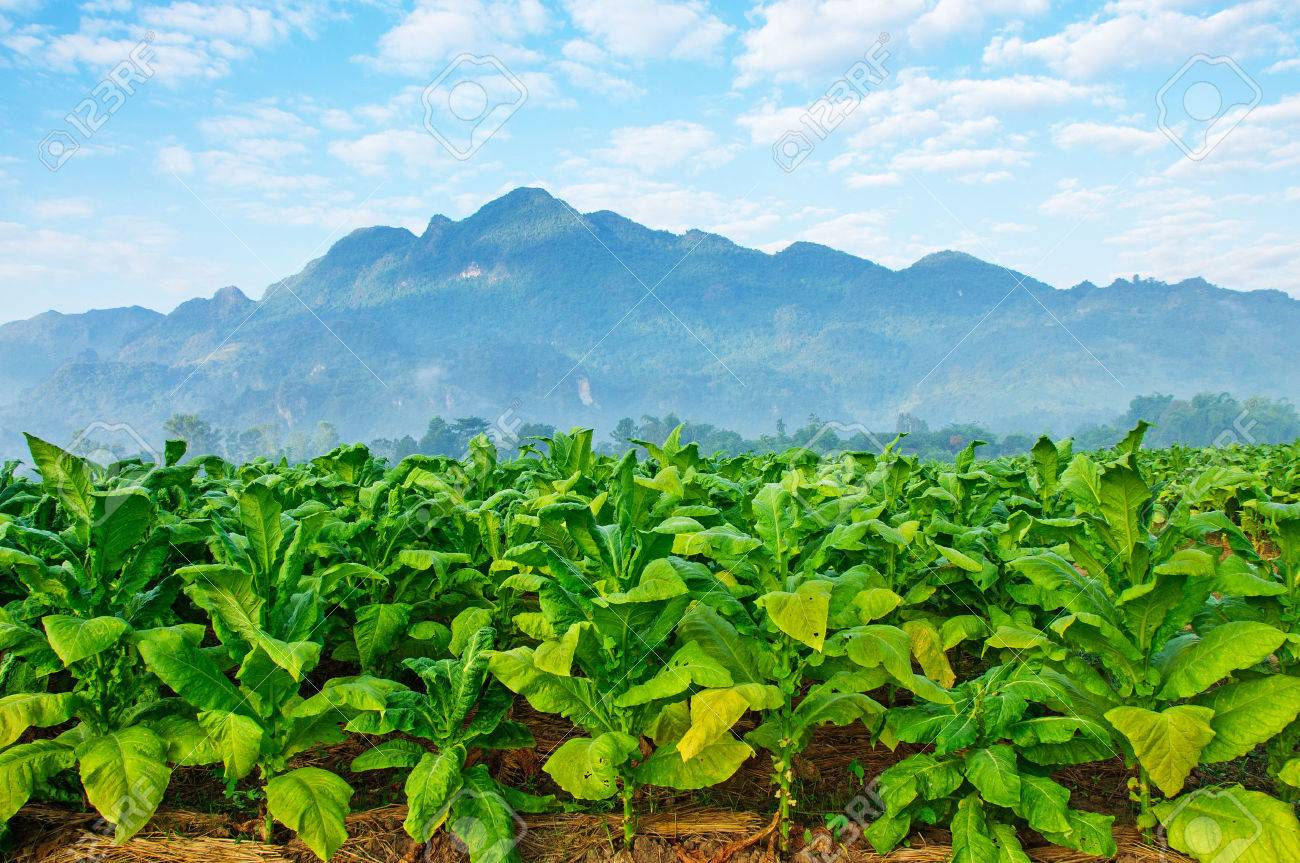 Tobacco farm in white cloud and blue sky. Stock Photo - 38000371