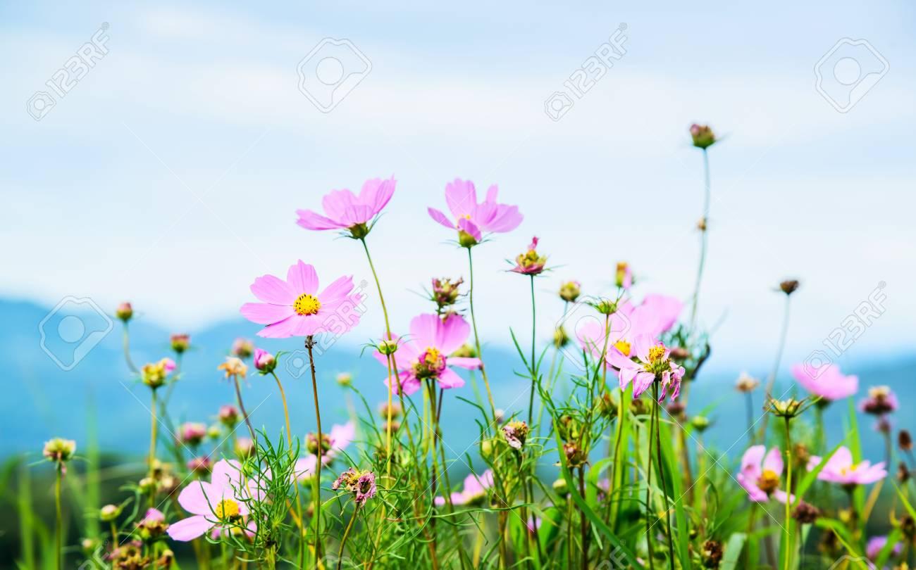 Fleurs De Cosmos Qui Fleurissent Dans Le Jardin De Mon Cham Hill ...