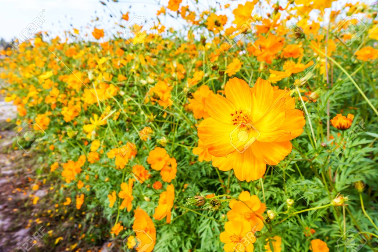 Yellow cosmos flower field in the blue sky stock photo picture and stock photo yellow cosmos flower field in the blue sky mightylinksfo