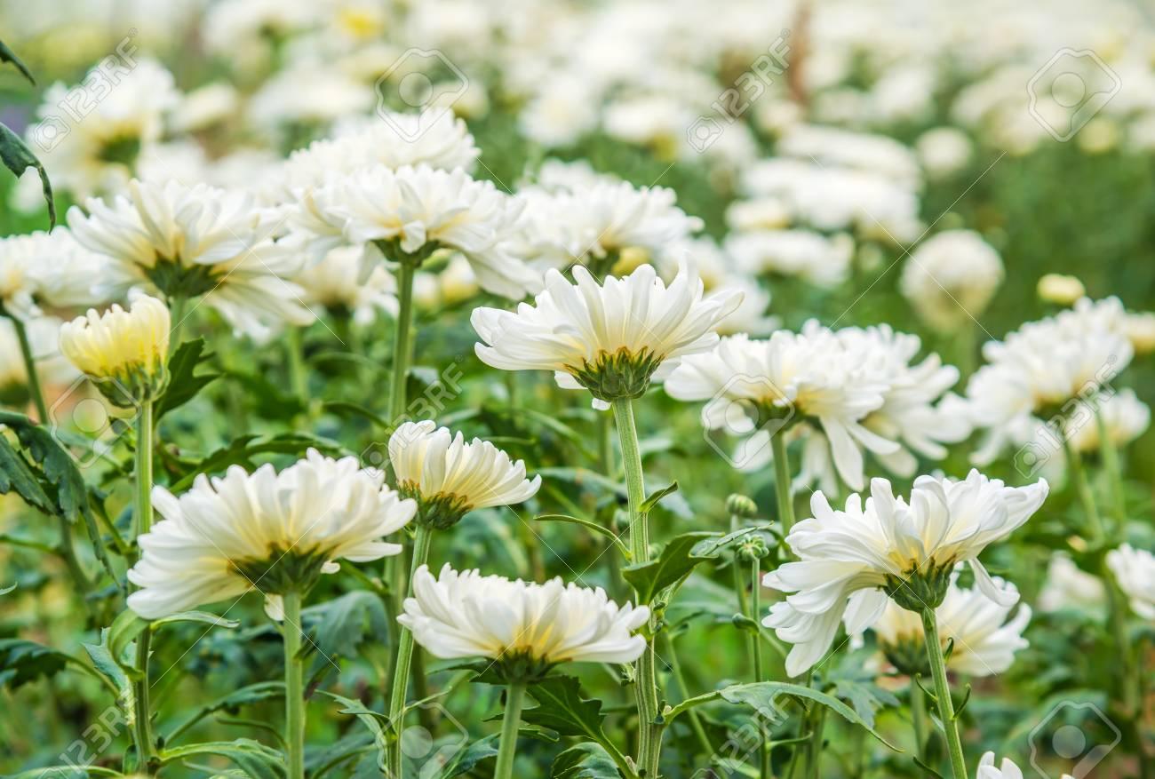 Beau Chrysantheme Blanc Comme Arriere Plan Fond D Ecran Chrysantheme Fleurs Chrysanthemes En Automne Banque D Images Et Photos Libres De Droits Image 88155990