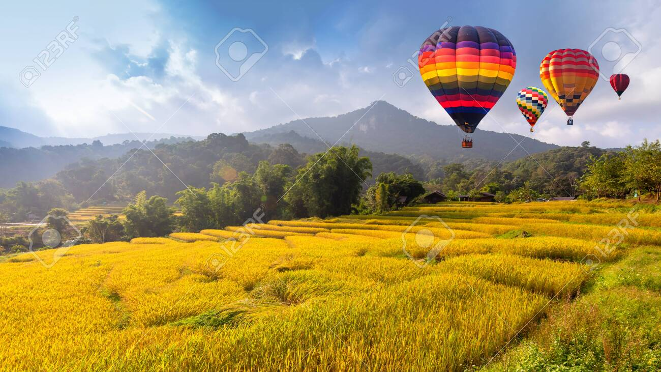 Hot air balloon over the yellow terraced rice field in harvest season - 131132280