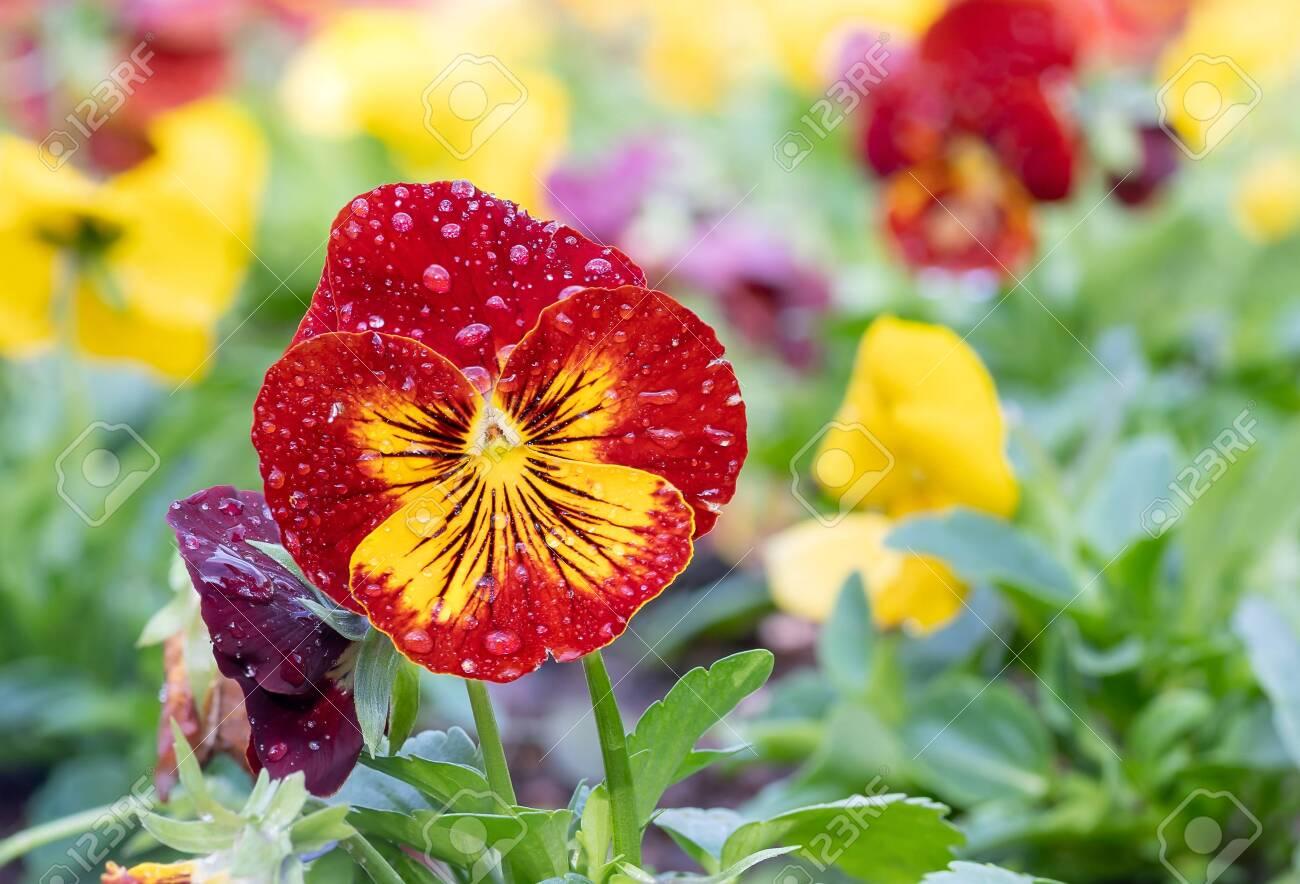 Pansies (Viola tricolor var. hortensis) as Heartsease with drops in garden. - 139270156