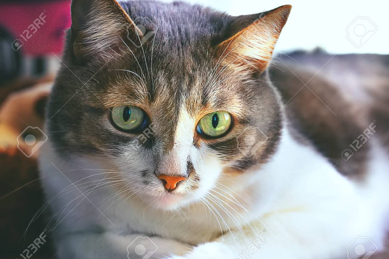 113297105-a-handsome-mustache-cat-with-big-green-eyes-is-lying-on-the-table-and-looking-straight-ahead-closeup.jpg