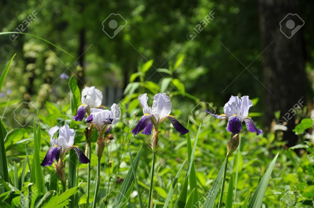 Blaue Iris Blumen Im Garten Für Die Weitere Gestaltung Lizenzfreie ...