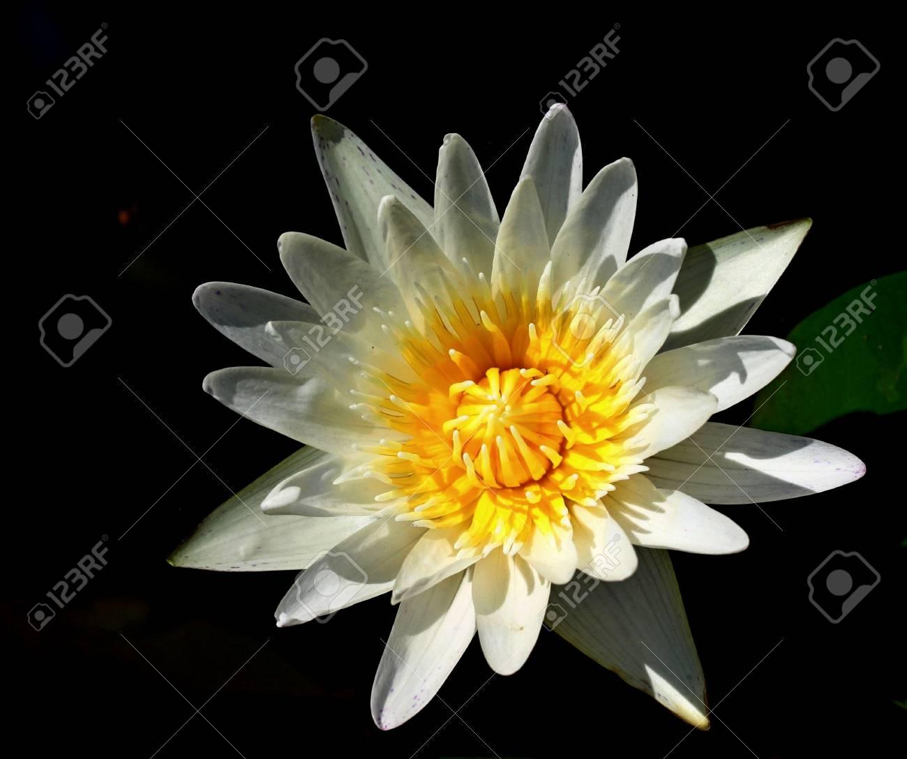 White lotus Stock Photo - 16160706