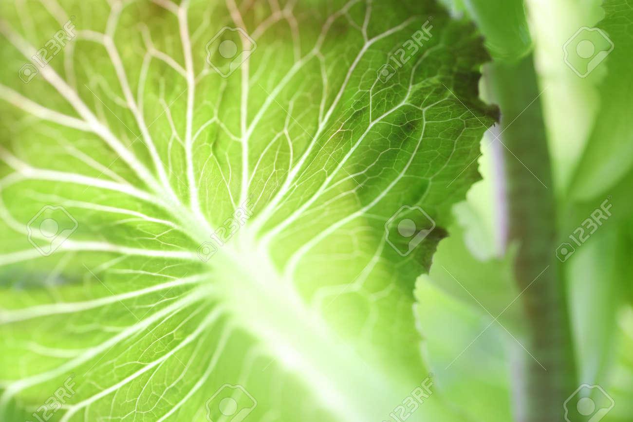 Green lettuce nerve close up - 155337530