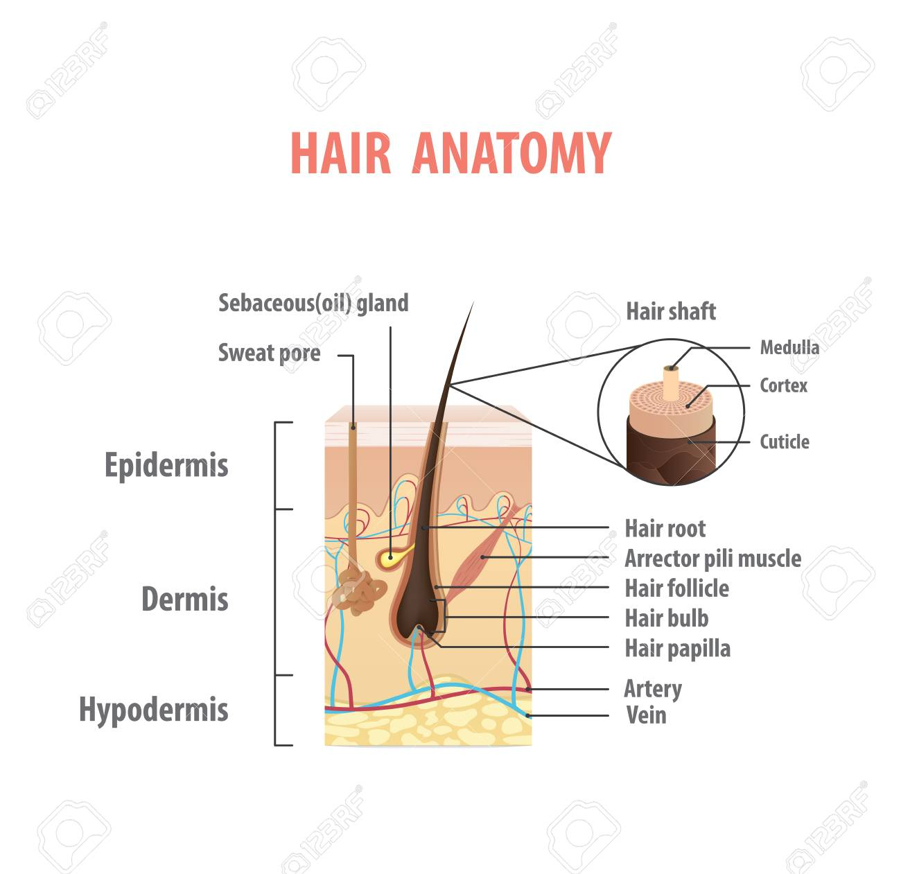 Fancy Human Hair Anatomy And Physiology Images - Human Anatomy ...