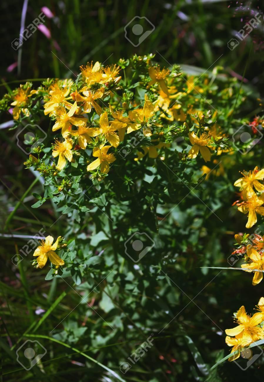 Planta Medicinal Completa Hierba De San Juan Hypericum Perforatum