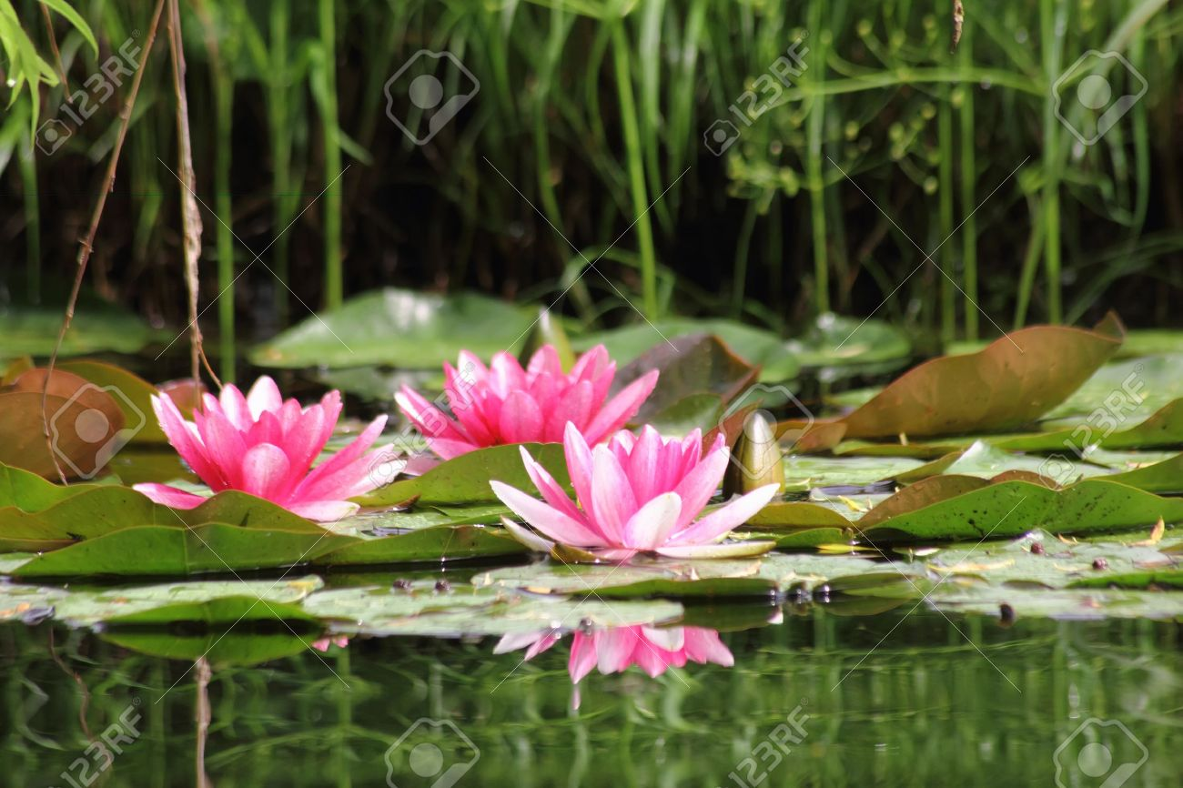 Red waterlily. Water flower. Stock Photo - 11092479