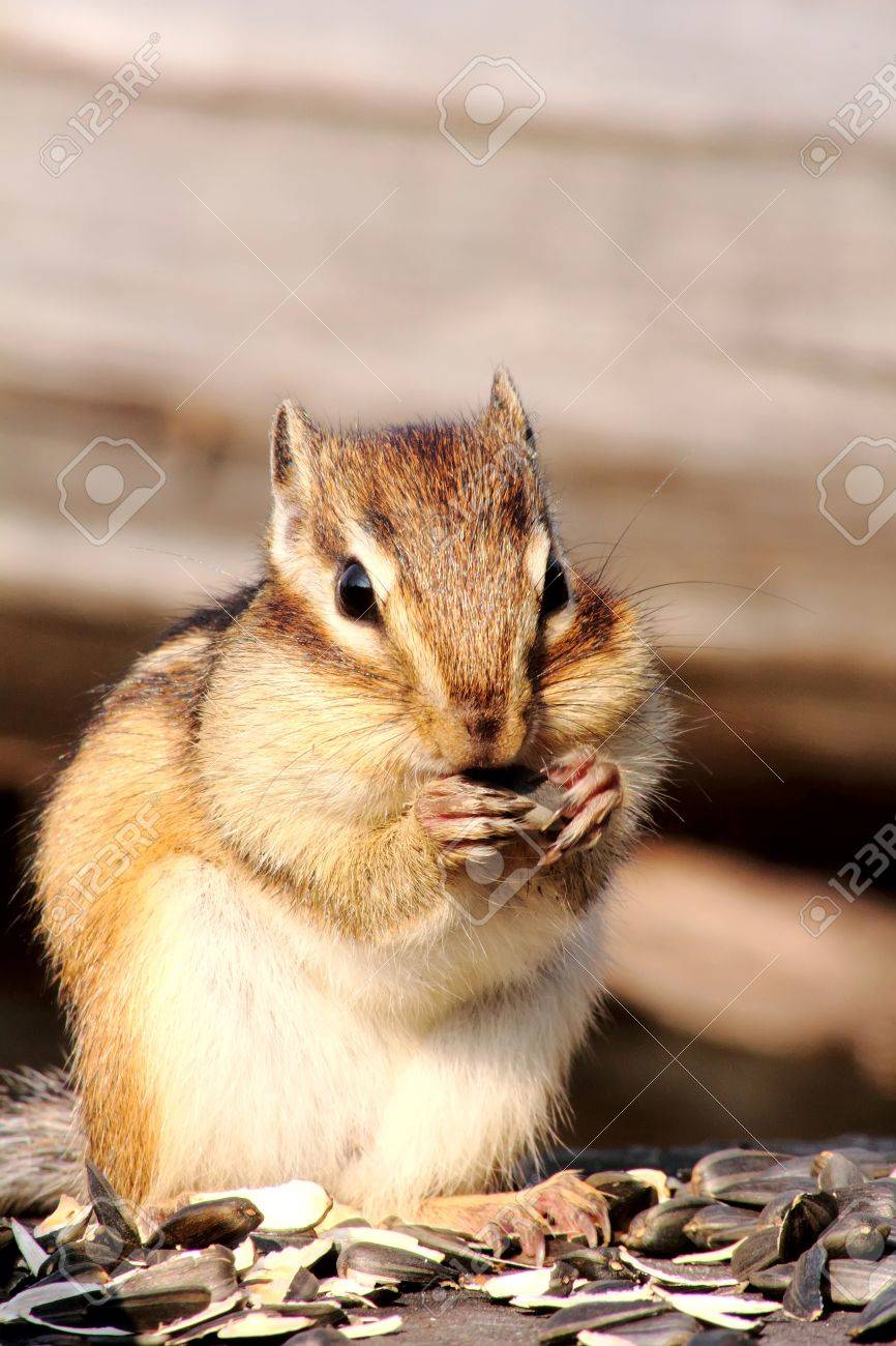 Chipmunk. Stock Photo - 11217580