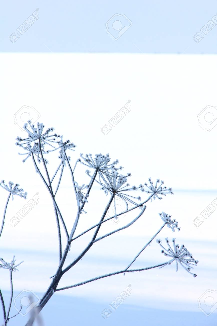 Winter flower  Snow  Hoarfrost Stock Photo - 13164857