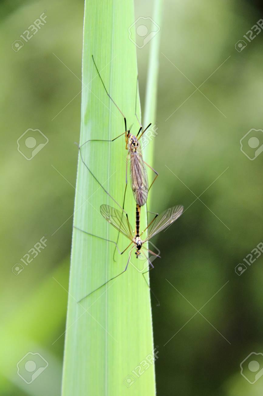 Big mosquitoes  Craneflies Stock Photo - 16030817