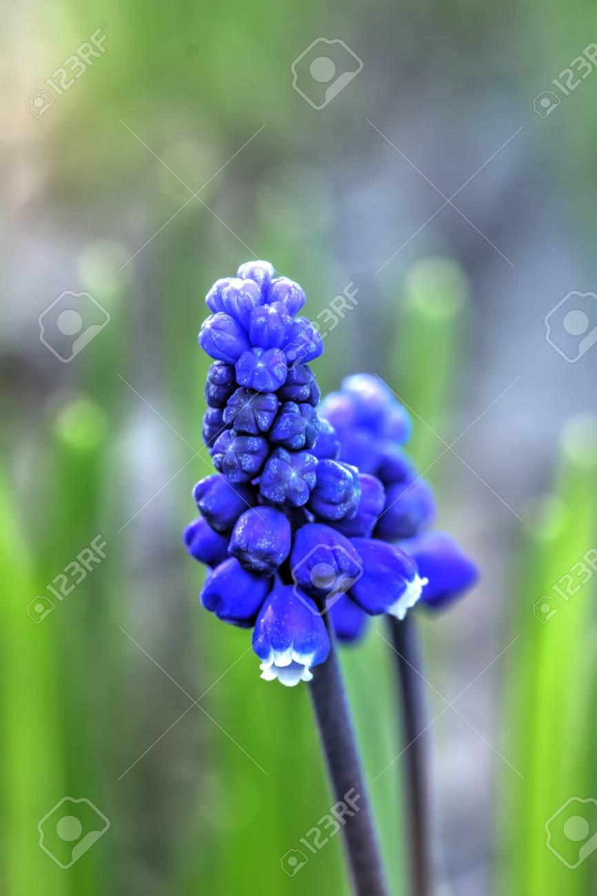 Blühender Garten Blume Muscari Im Frühjahr Lizenzfreie Fotos