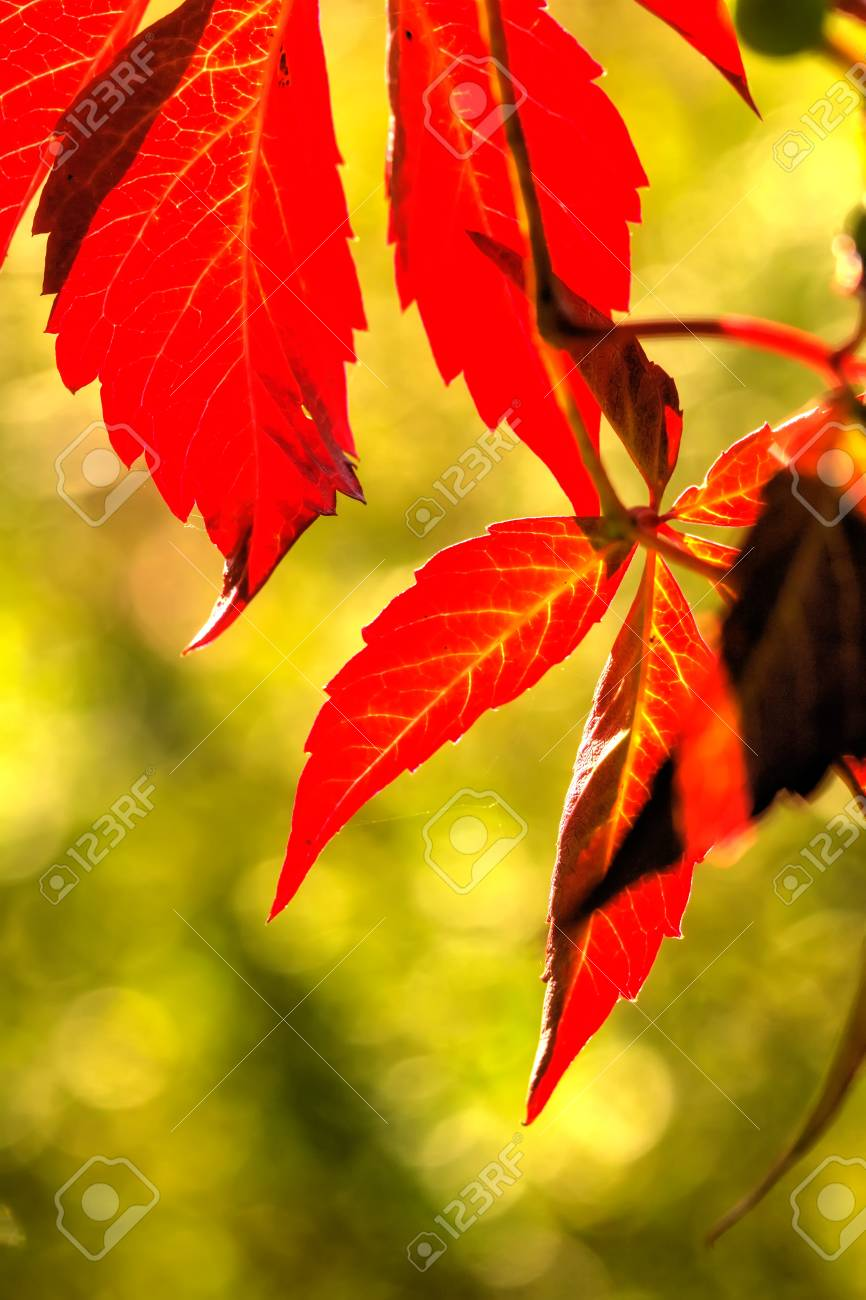Parthenocissus. Garden Plant. Red Leaves Of The Creeper Growing ...