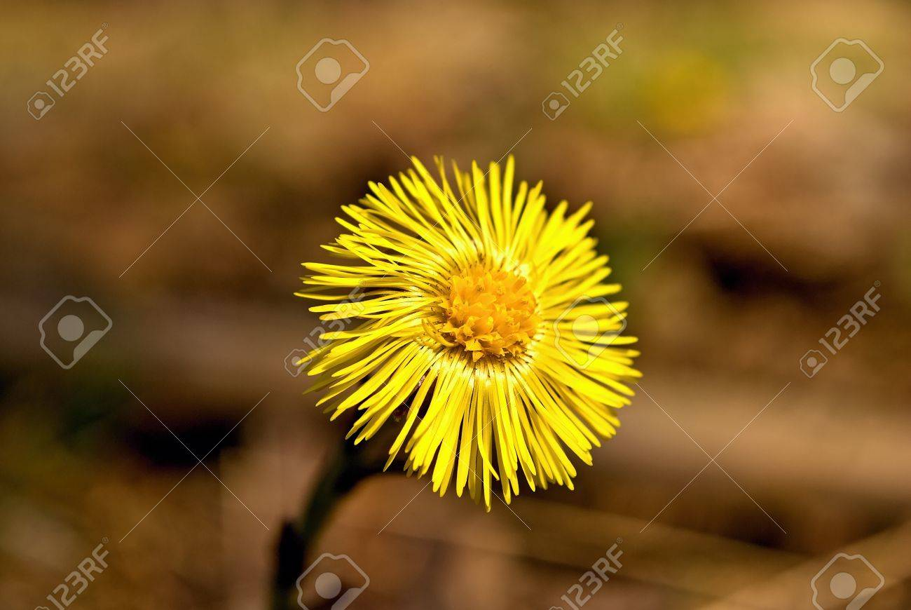 Wild Yellow Flower Colts Foot In Forest Stock Photo Picture And