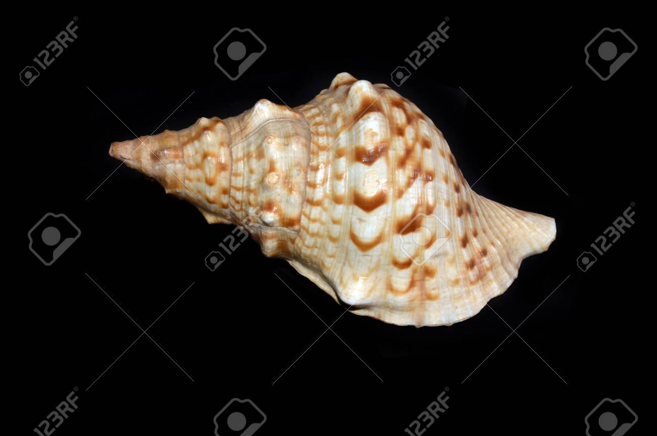 cockleshell isolated on black background - 136398304