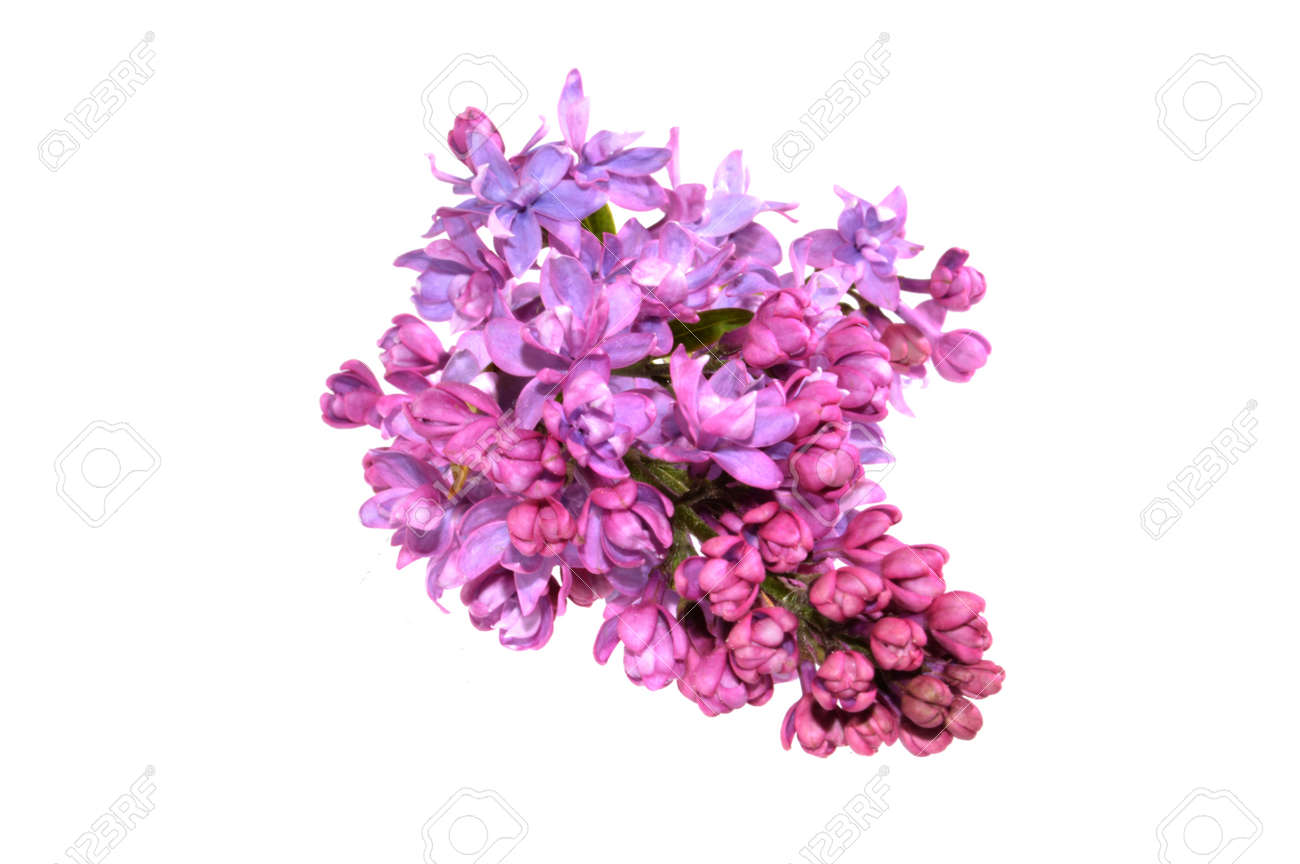 lilac isolated on white background - 149642773