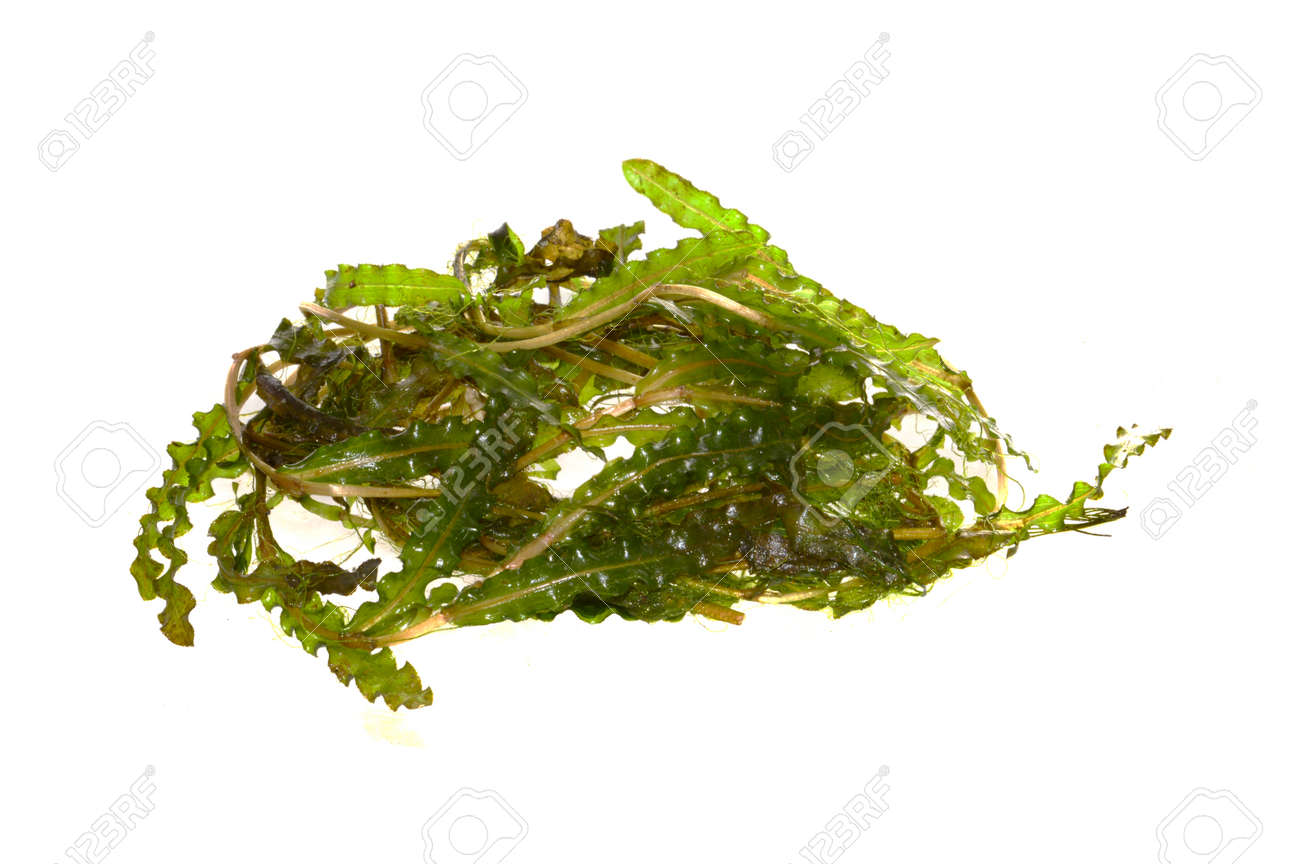 seaweed isolated on white background - 171899692