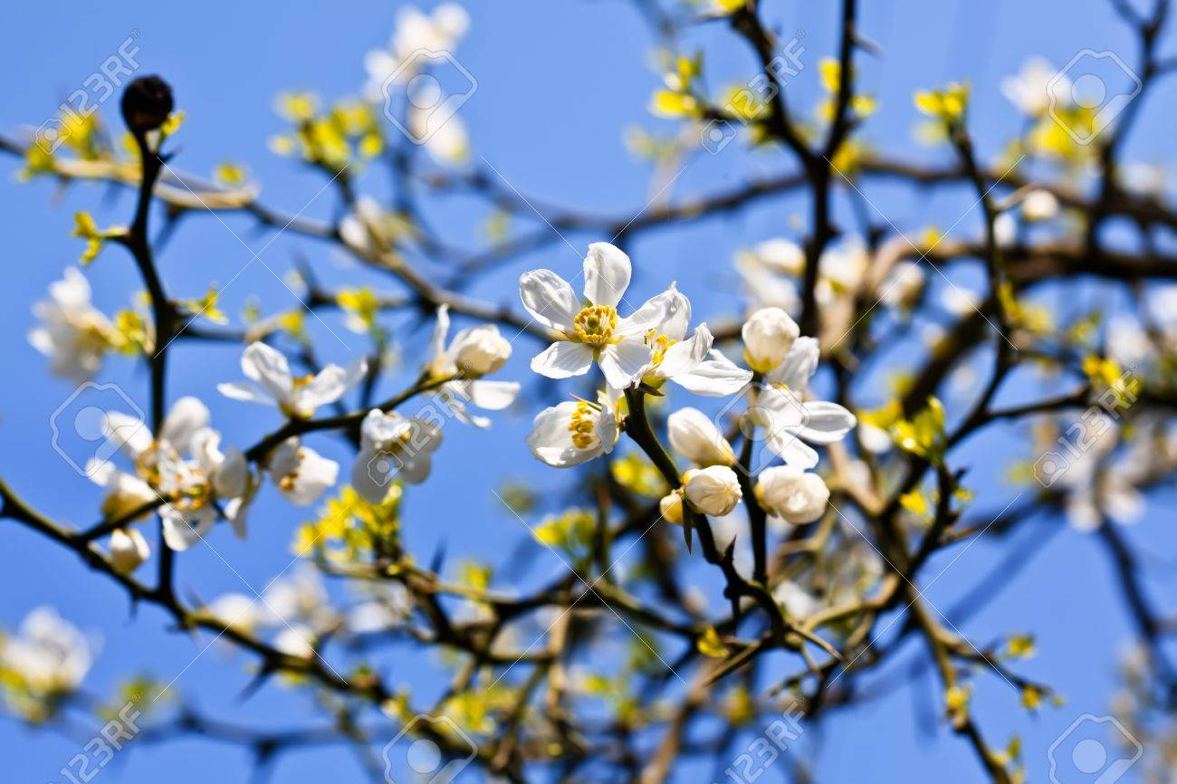 Poncirus trifoliata white spring flowers and blue sky stock photo white spring flowers and blue sky stock photo 12083022 dhlflorist Choice Image