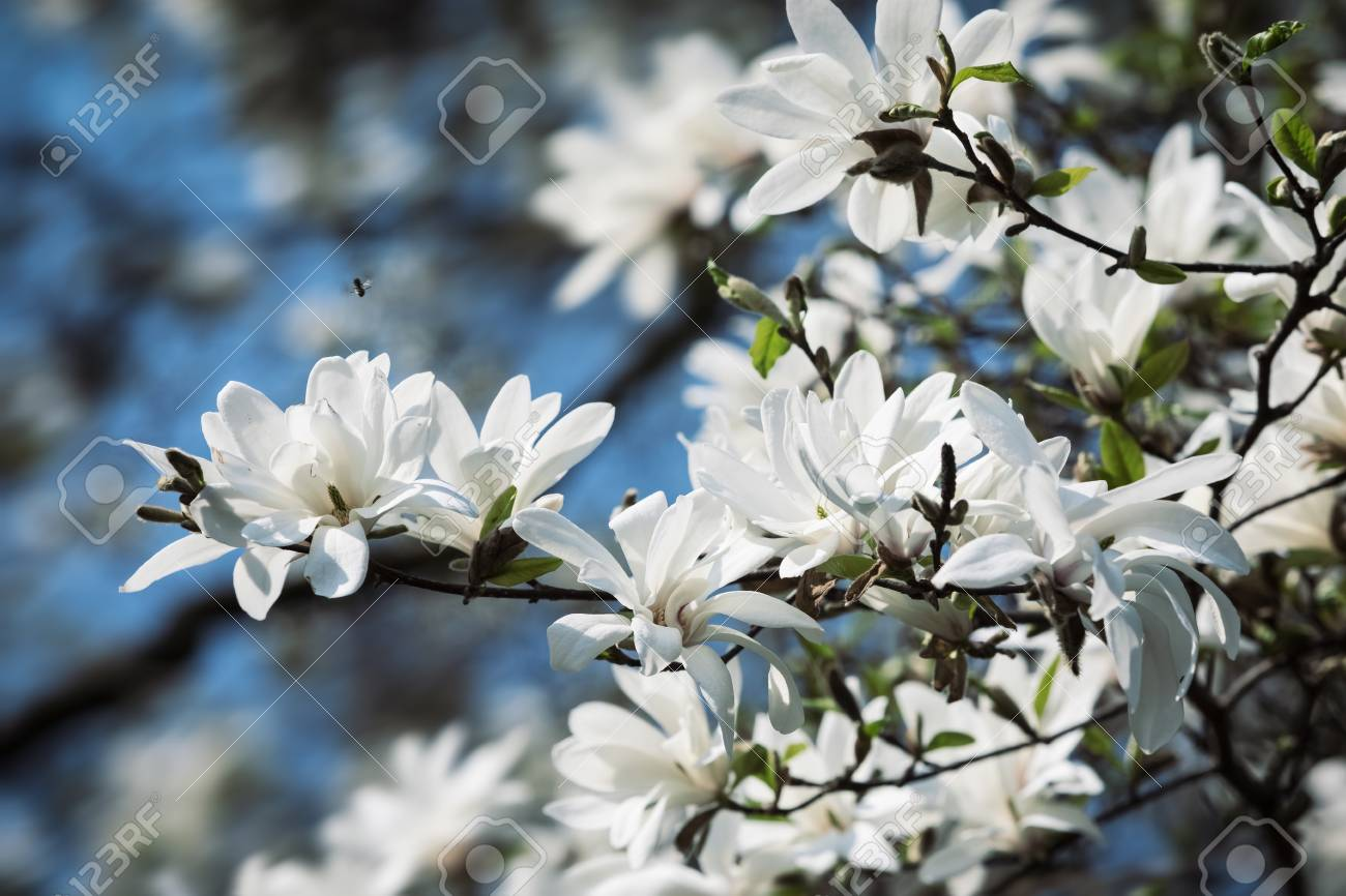 Magnolia Kobus White Magnolia Flowers Blooming Magnolia Tree