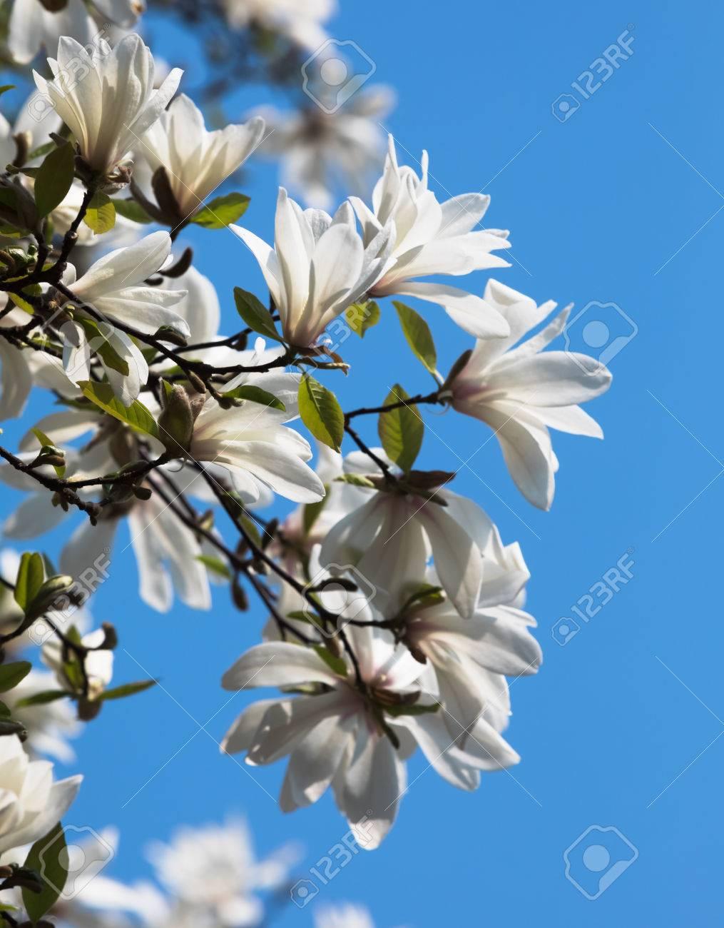 Magnolia kobus white magnolia flowers blooming magnolia tree magnolia kobus white magnolia flowers blooming magnolia tree with white flowers stock photo mightylinksfo
