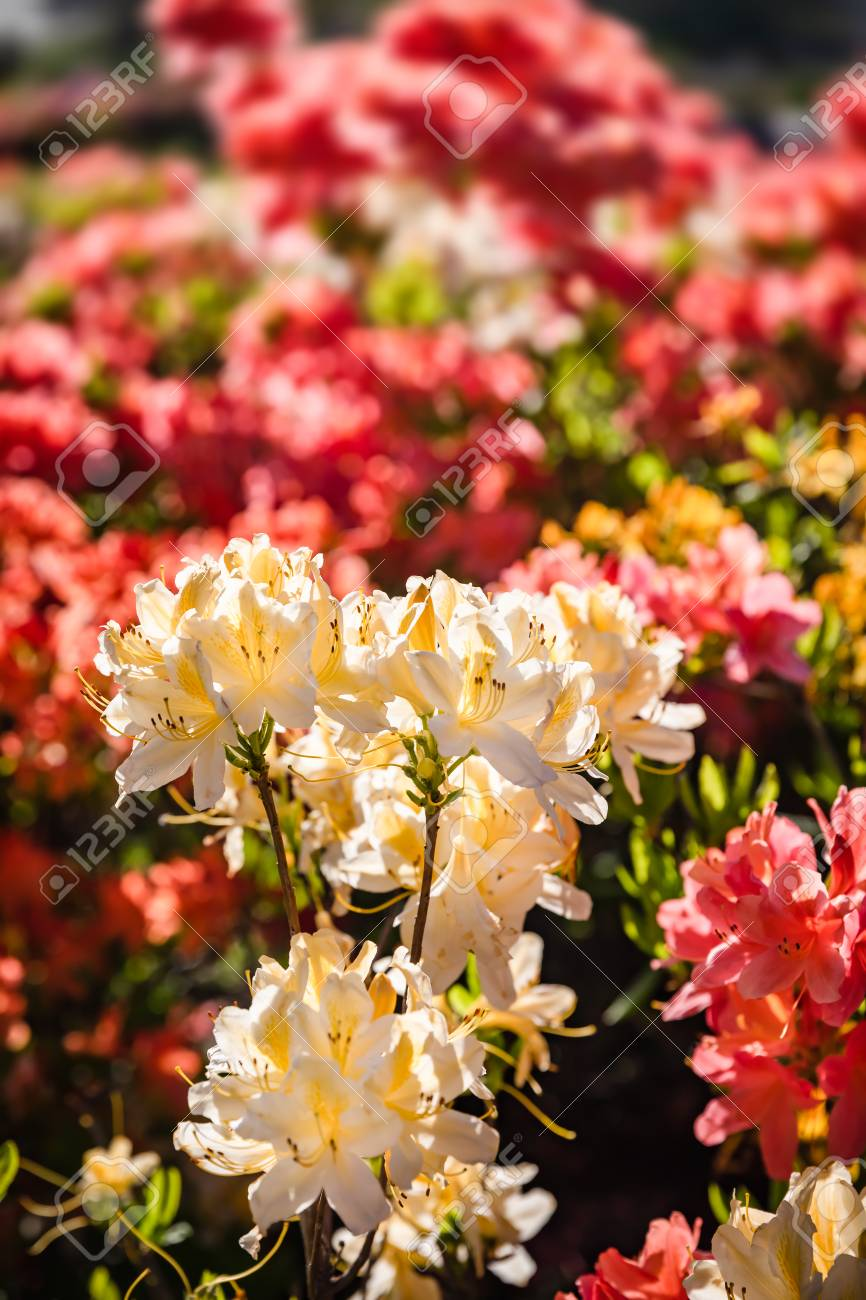 Rhododendron Plants In Bloom With Flowers Of Different Colors