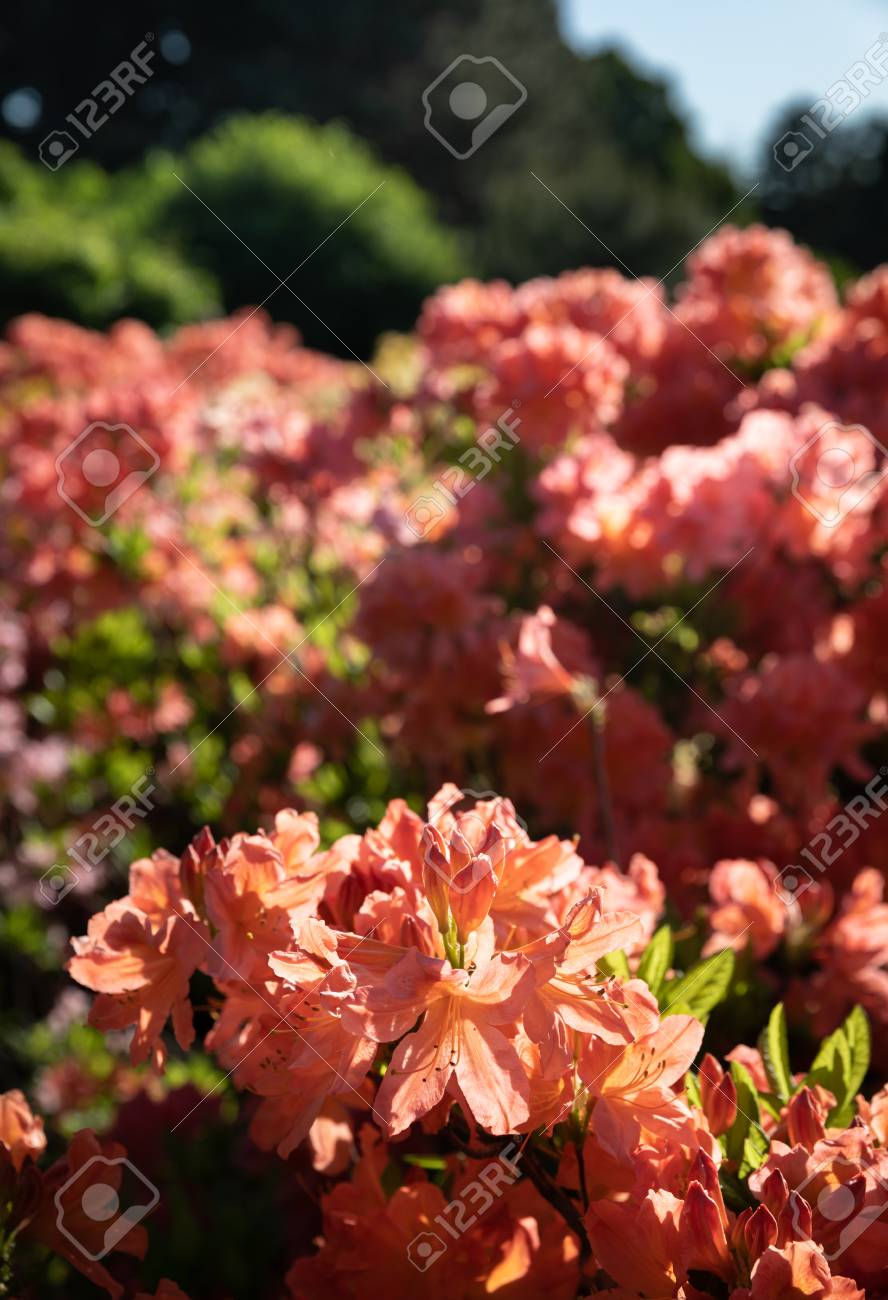 Rhododendron Plants In Bloom With Flowers Of Different Colors ...