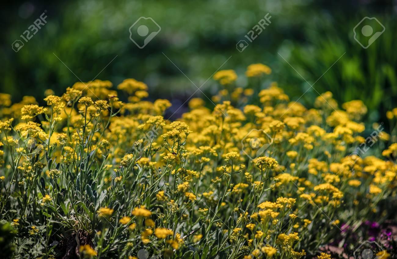 Soft Focus Image Of Small Yellow Flowers Of Aurinia Saxatilis