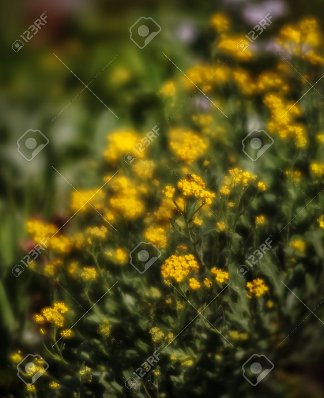 Soft Focus Image Of Small Yellow Flowers Of Aurinia Saxatilis In The