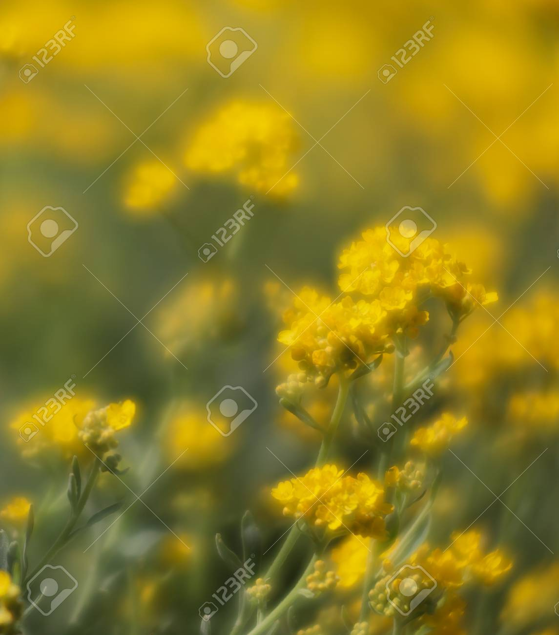 Soft focus image of small yellow flowers of aurinia saxatilis soft focus image of small yellow flowers of aurinia saxatilis in the spring time in the mightylinksfo