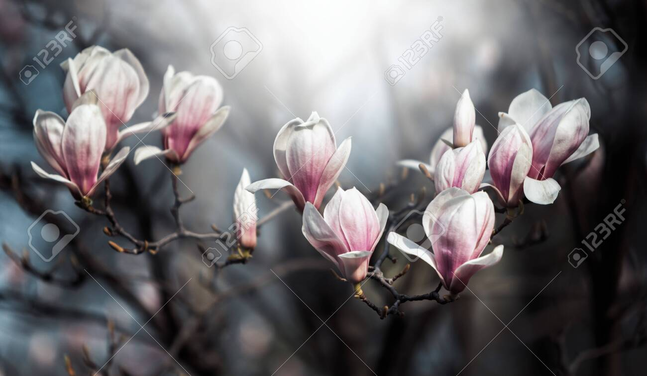 Natural Background Concept Pink Magnolia Branch Magnolia Tree Stock Photo Picture And Royalty Free Image Image 141615185