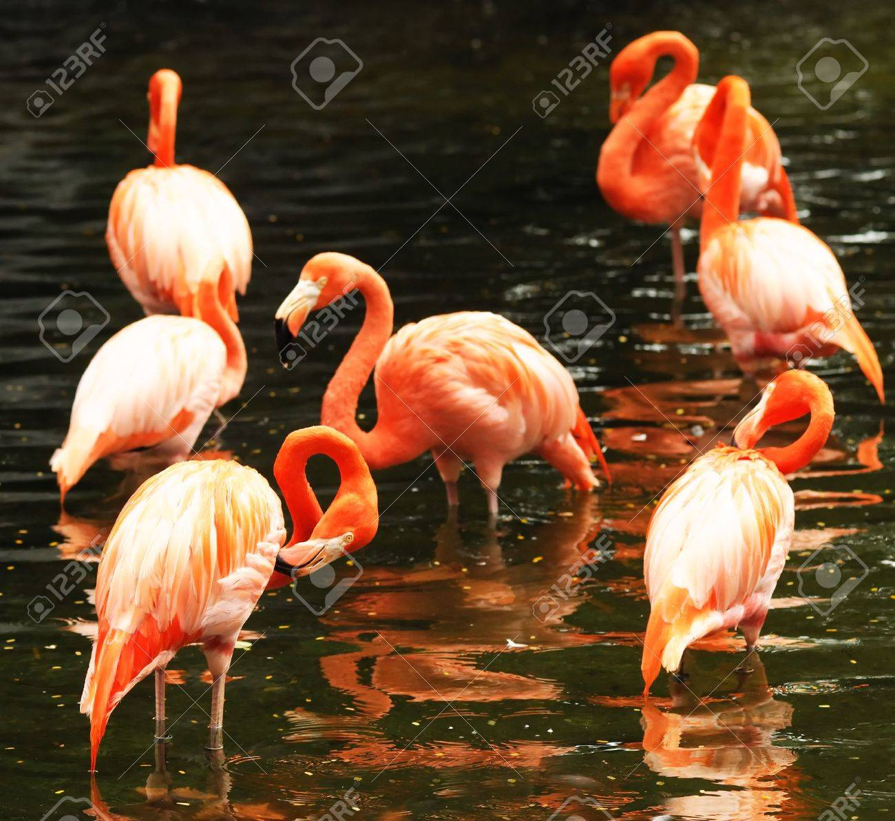 The flock of pink flamingo in the water Stock Photo - 5602439
