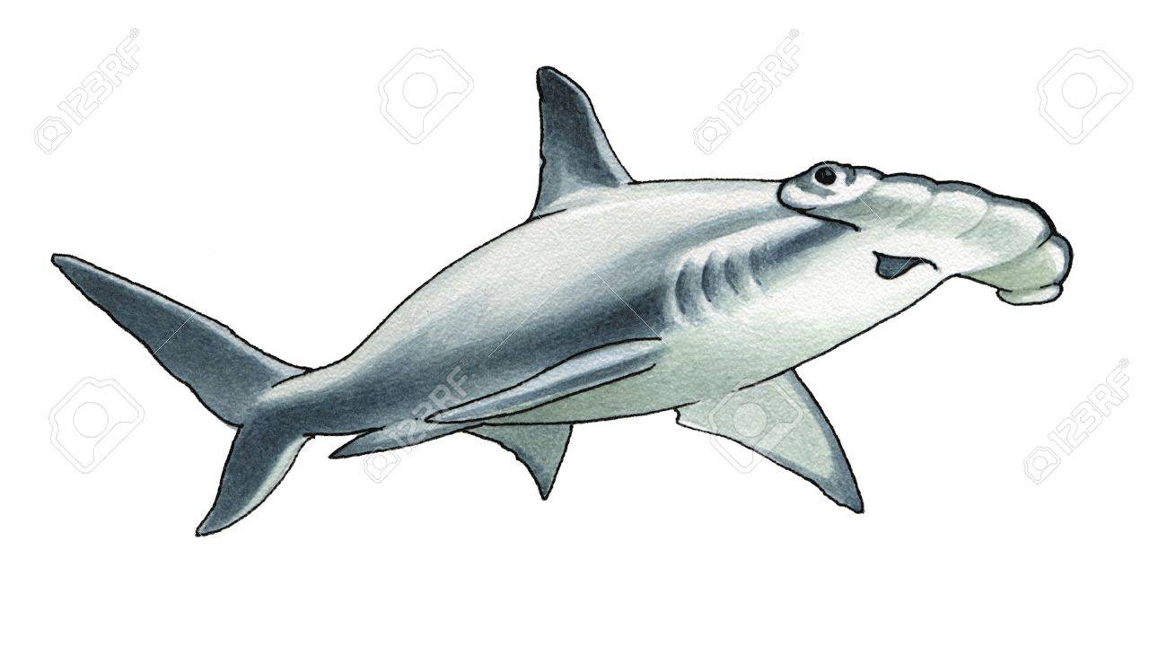 hammerhead shark stock photo picture and royalty free image