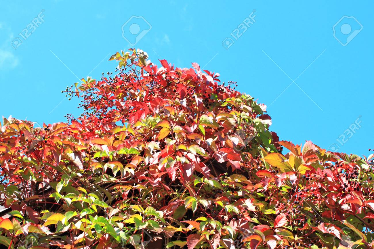 Autumn grapes and blue sky Stock Photo - 12851751