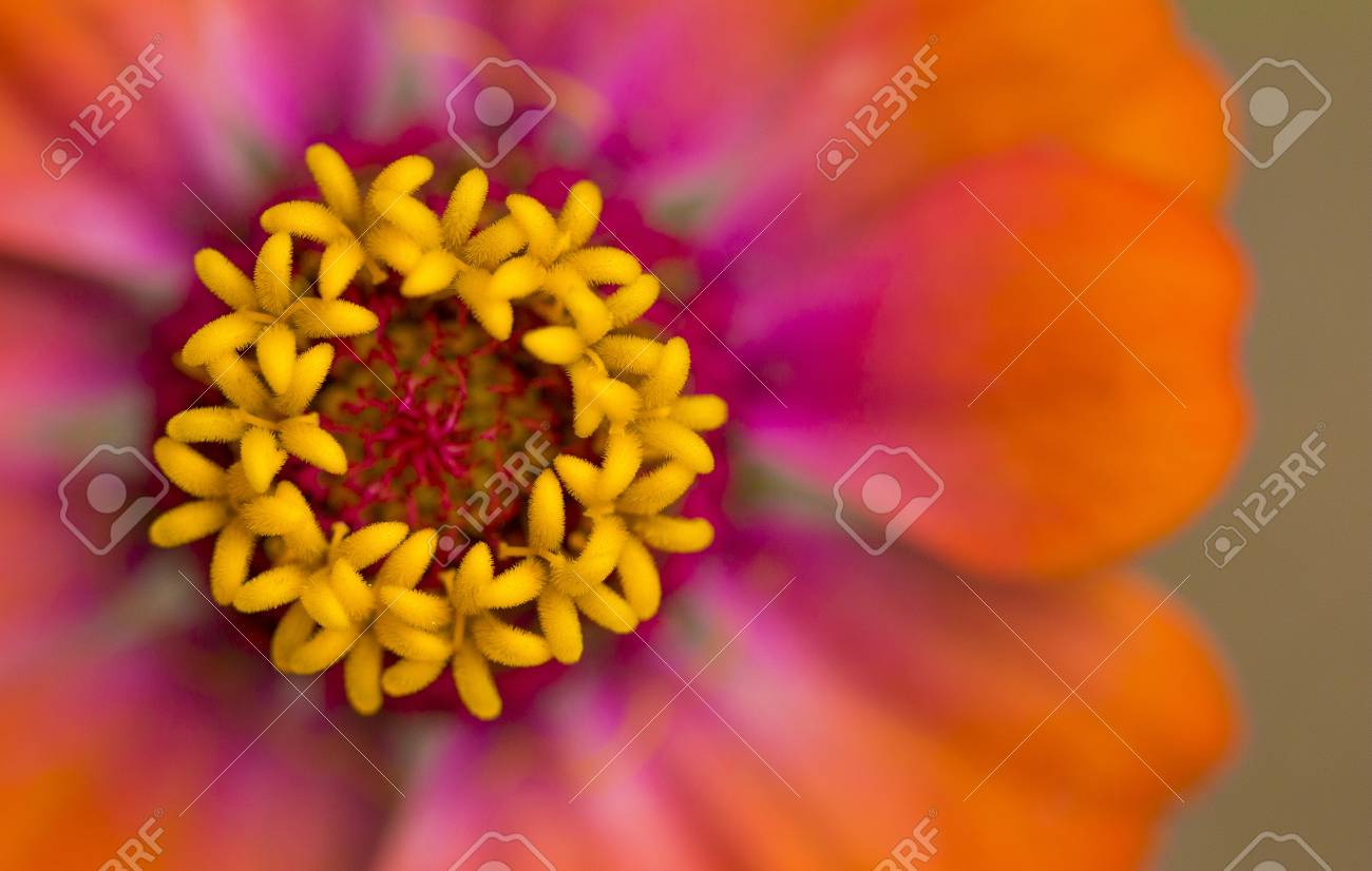 Beautiful Vibrant Macro View Of An Orange Yellow And Pink Flower