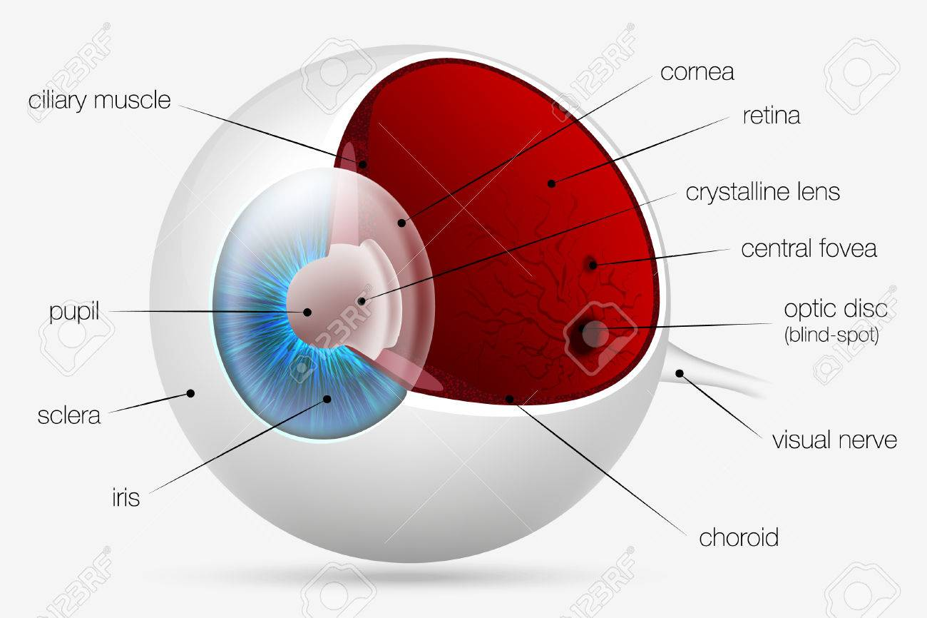 Internal Structure Of The Human Eye Royalty Free Cliparts Vectors Diagram Stock Vector 25276175