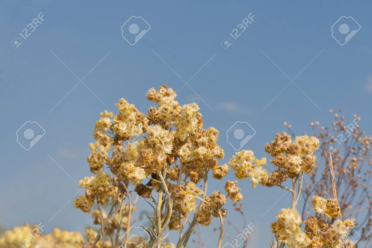 Closeup of many dry yellow golden everlasting flowers against closeup of many dry yellow golden everlasting flowers against blue sky background a special native izmirmasajfo